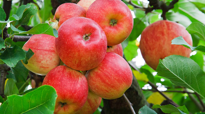 Hardy Apple Trees Available